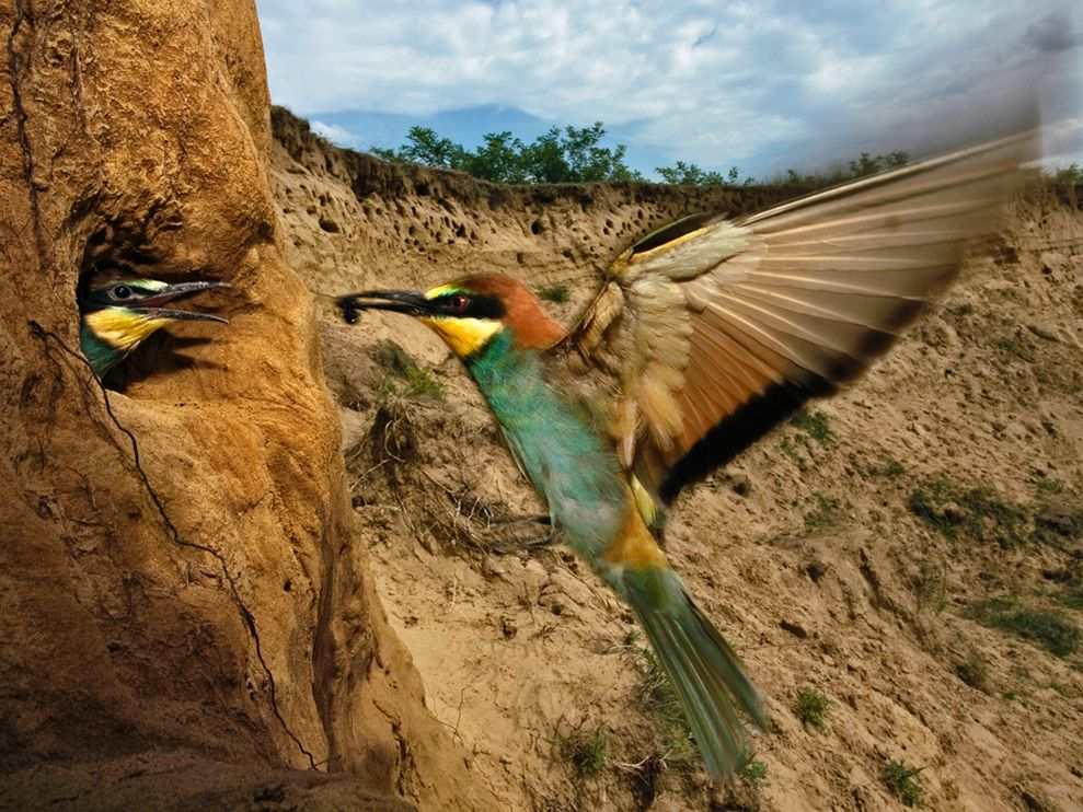 Name:  bee-eater-szentpeteri_3712_990x742.jpg Views: 58 Size:  172.7 KB