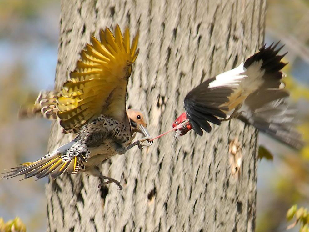 Name:  birds-fighting-lukasiewicz_3742_990x742.jpg Views: 67 Size:  108.5 KB