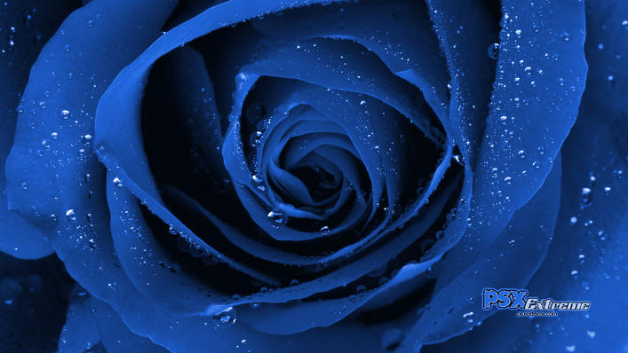 blue rose tattoo. Blue+rose+tattoo+meaning