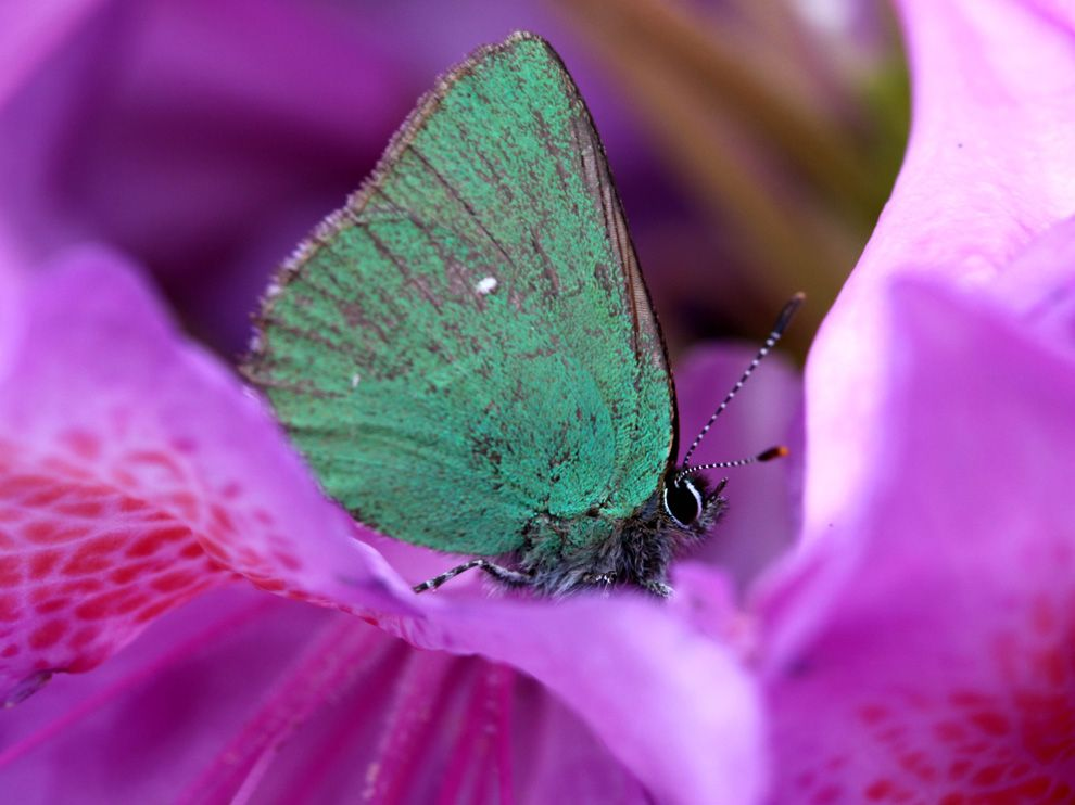 Name:  butterfly-rhododendron_65514_990x742.jpg