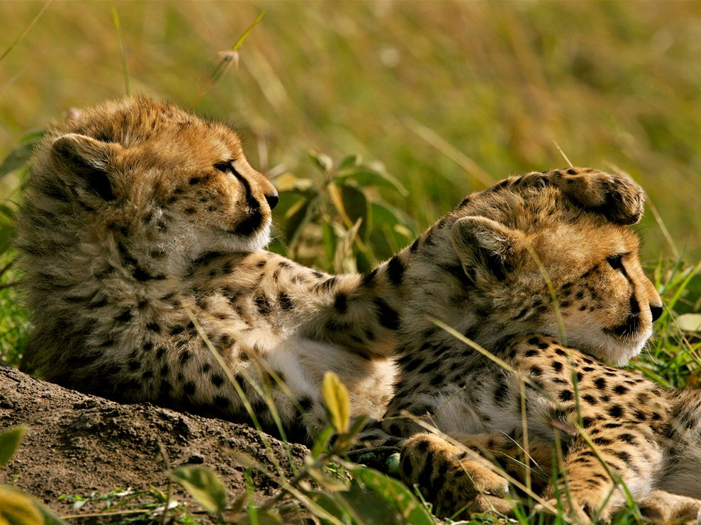 Name:  cheetahs-grass-kenya_22651_990x742.jpg