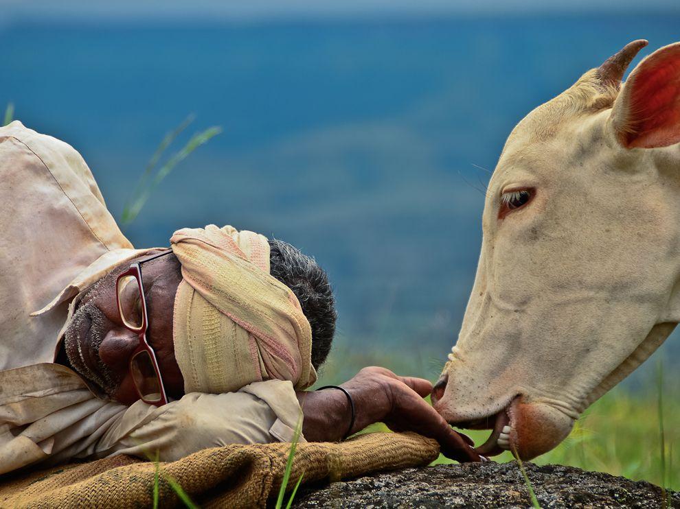 Name:  cow-shepherd-india_62675_990x742.jpg Views: 65 Size:  113.0 KB