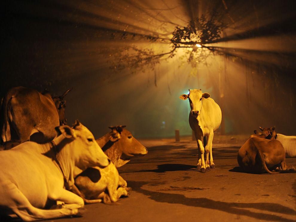 Name:  cows-india-diwali_48268_990x742.jpg Views: 56 Size:  77.5 KB