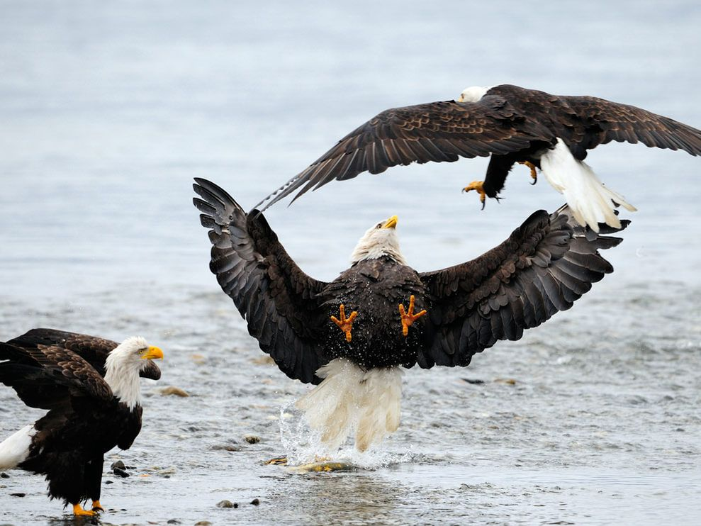 Name:  eagles-fighting_18367_990x742.jpg