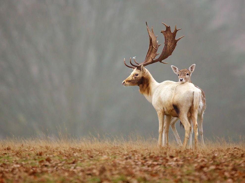 Name:  fallow-deer-england_69216_990x742.jpg Views: 89 Size:  69.1 KB
