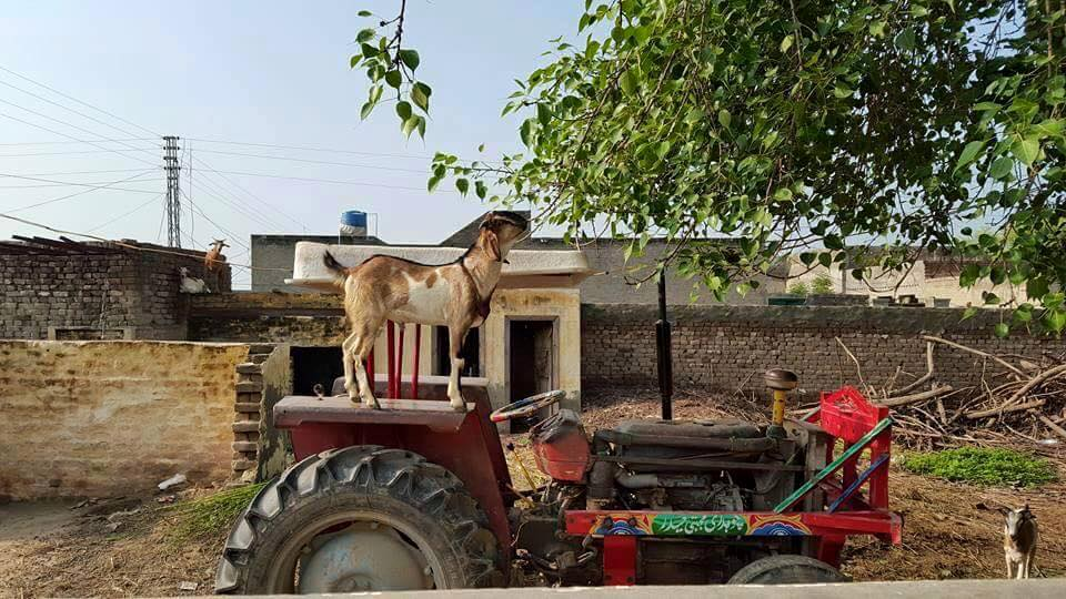 Name:  goat on tractor.jpg