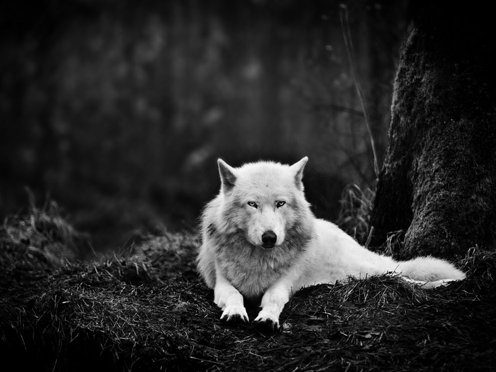 Name:  gray-wolf-sanctuary_47913_990x742.jpg Views: 71 Size:  97.5 KB