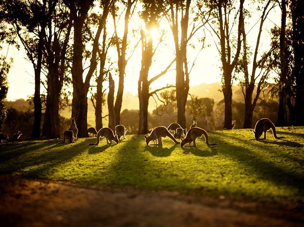 Name:  kangaroos-sunset-australia_68756_990x742.jpg Views: 28 Size:  170.7 KB