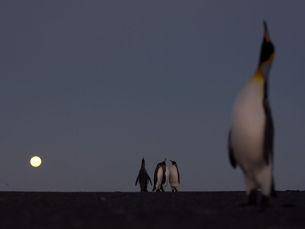 Name:  king-penguins_6321_990x742.jpg Views: 69 Size:  19.7 KB