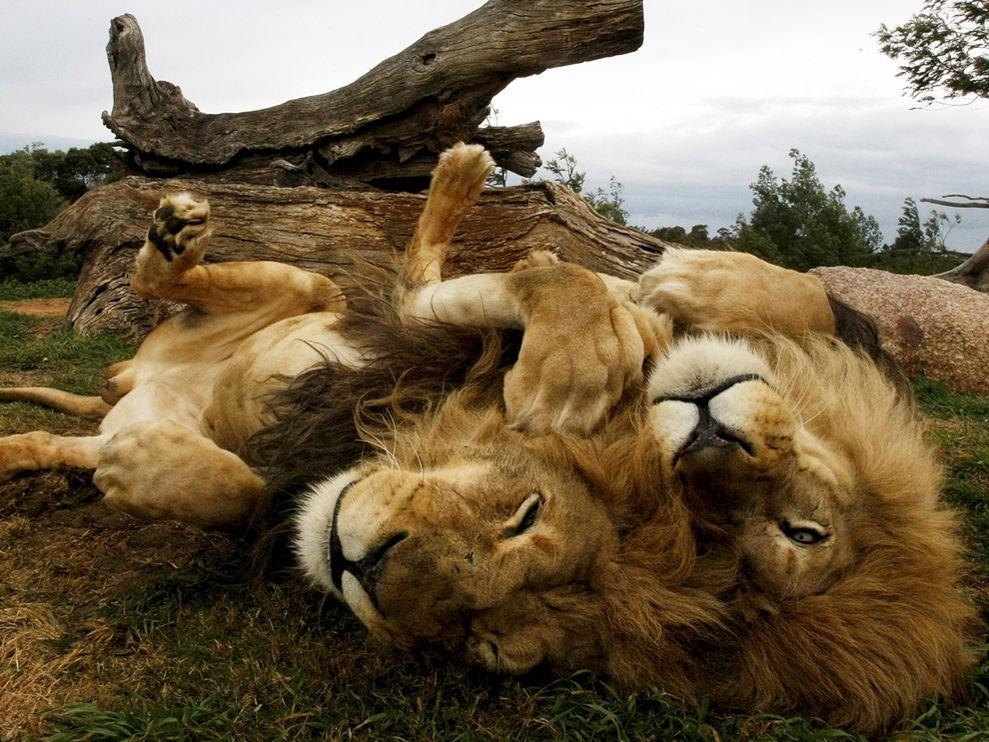 Name:  lion-brothers-australia_3637_990x742.jpg Views: 68 Size:  155.7 KB