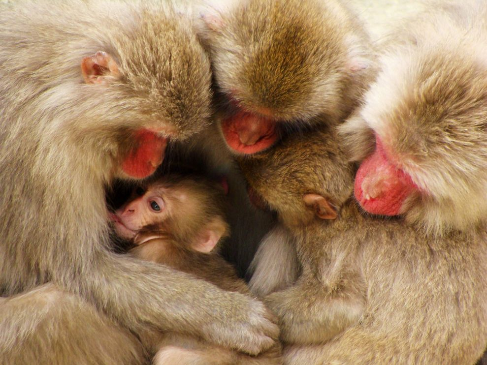 Name:  macaque-family-japan-081809_3640_990x742.jpg