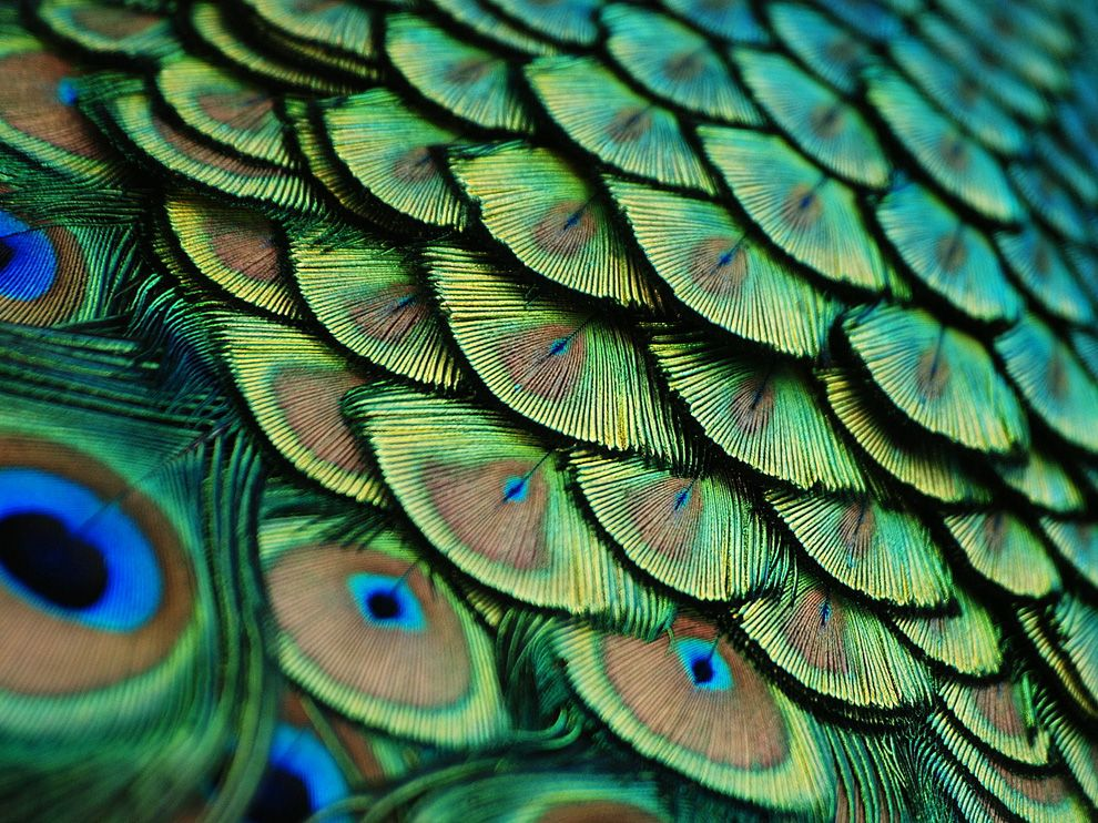 Name:  peacock-feathers-florida_56547_990x742.jpg Views: 54 Size:  194.3 KB