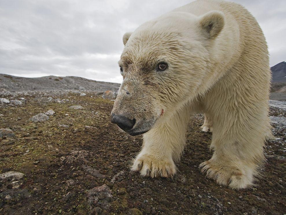 Name:  polar-bear-nicklen_3700_990x742.jpg Views: 54 Size:  141.9 KB