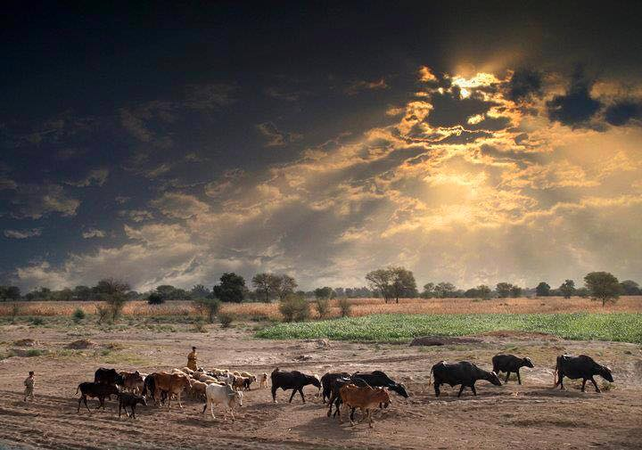Name:  punjab cattle.jpg