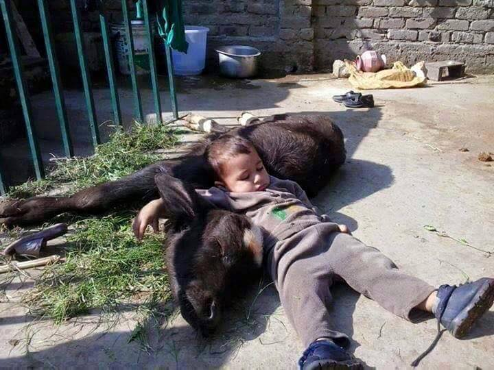 Name:  punjab kid sleeping with calf.jpg