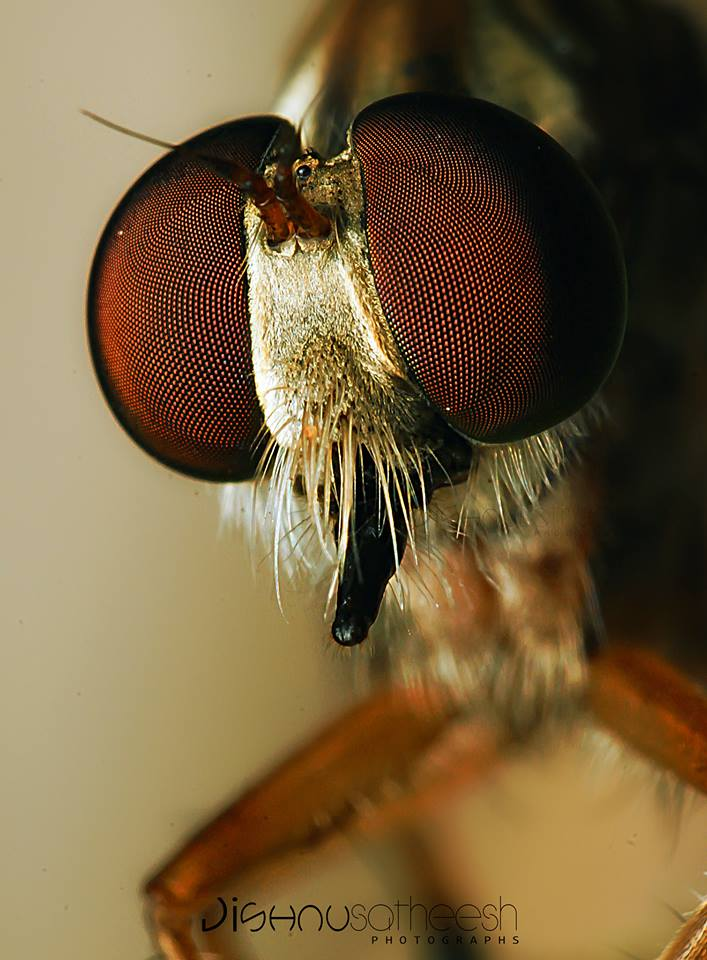 Name:  Robber Fly.jpg