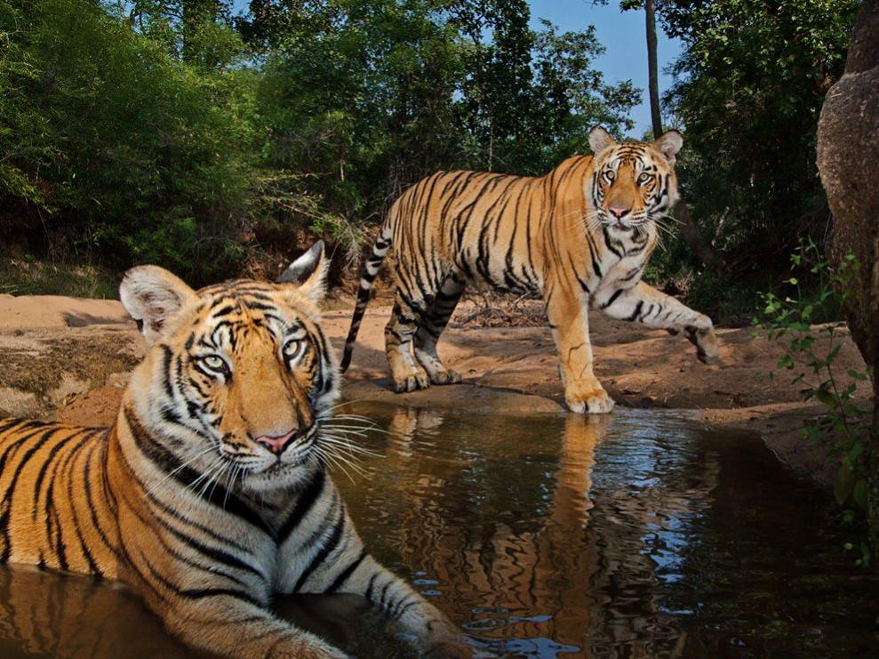 Name:  tigers-watering-hole-winter_47917_990x742.jpg Views: 59 Size:  155.2 KB