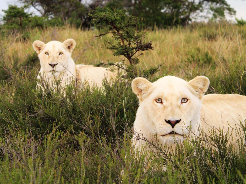 Name:  white-lions-south-africa_40065_990x742.jpg Views: 104 Size:  172.3 KB