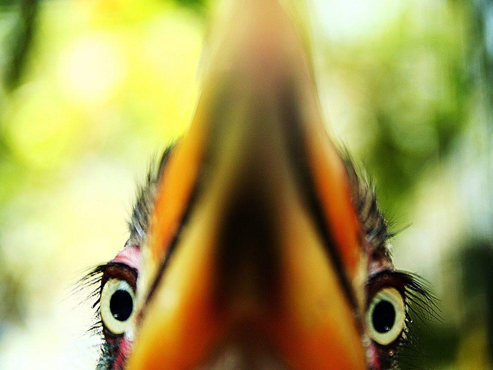 Name:  yellow-hornbill-born_3766_990x742.jpg Views: 44 Size:  79.7 KB