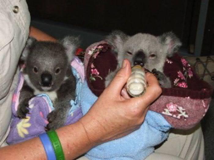 Rescued Baby Koalas | Unp.me