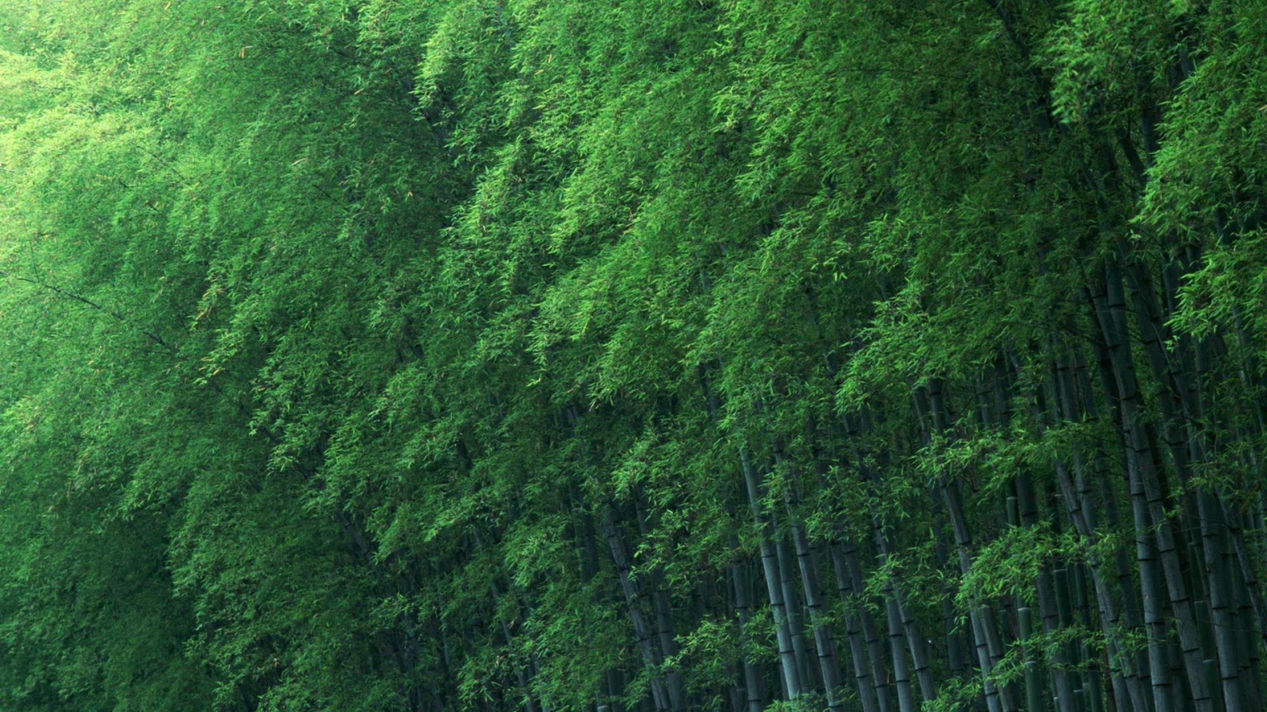 Natural Green Bamboo Forest